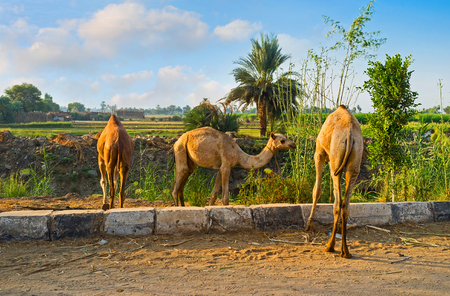 feed the poor: The camel colts are feeding  along the road in Edfu suburb.