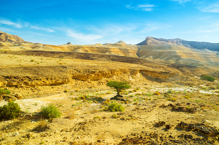 nature reserves of israel: The bright green tree of camel thorn on the yellow background of Negev desert, Israel. Stock Photo