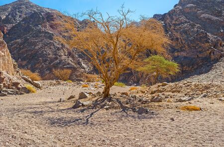 masiv: The scenic camel thorn trees - Acacia erioloba in valley of Eilat mountains, Israel.