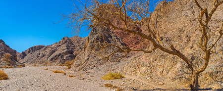 The valley among Eilat mountains with the poor vegetation and the camel thorn tree, Israel. Stock Photo