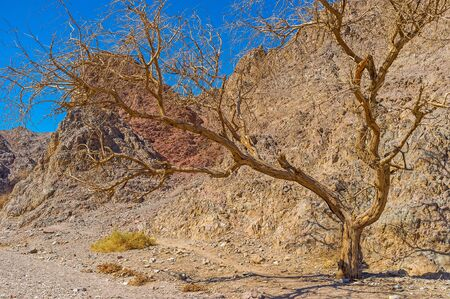 masiv: The spreading camel thorn tree in the desert Eilat mountains in Masiv Nature Reserve, Israel. Stock Photo