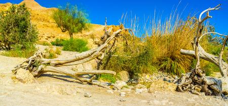 judean desert: The broken dried tree next to the fresh spring, surrounded by green reeds, Ein Gedi, Judean desert, Israel.