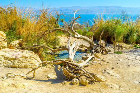 judean desert: The fresh spring in Judean desert surrounded by greenery and dead tree trunks, provide travelers the place to relax, Ein Gedi, Israel. Stock Photo
