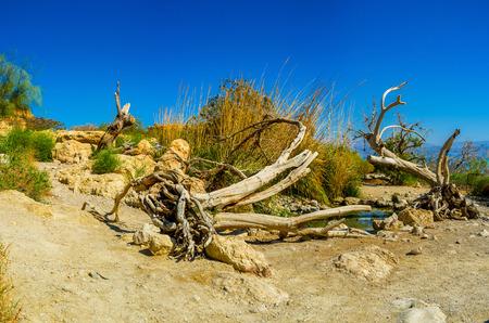 judean desert: The tiny spring in Judean desert with the lush greenery around it, Ein Gedi, Israel.