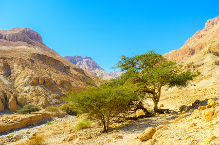 The gorge in Ein Gedi Nature Reserve with the green trees next to the mountain river, Israel.