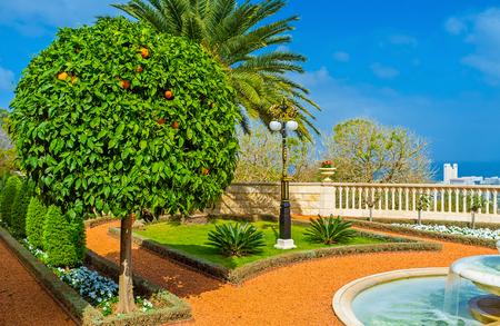bahai: The scenic orange tree with bright fruits in Bahai Gardens, Haifa, Israel.