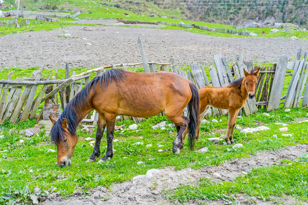 mare and foal: Two horses - mare and foal graze next to the old tilted fence, Ushguli, Upper Svaneti, Georgia. Stock Photo