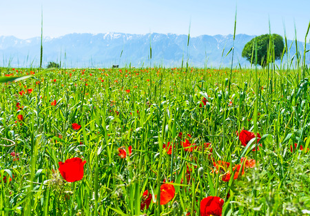 peacefull: The poppy meadow is the best place to relax and enjoy the peacefull nature, Samarkand suburb, Uzbekistan.