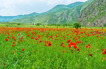 sway: The red poppies in tall grass softly sway in the wind among the great mountains of  Caucasus, Samtskhe-Javakheti Region, Georgia. Stock Photo