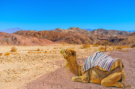 The walk along the dry riverbed in Negev desert can be a pleasant and relaxing attraction if use a camel - the ship of desert, Eilat, Israel.