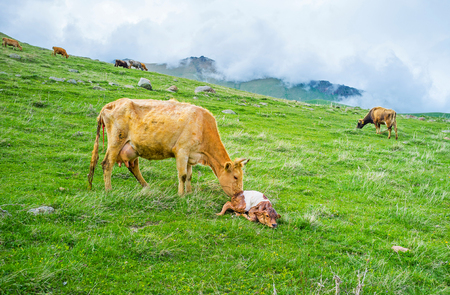 The mother cow with a newborn calf on a highland meadow with the cloudy mountains on the background, Kazbegi National Park, Georgia.
