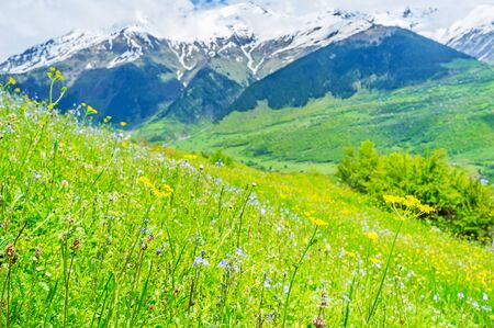 The mountains of Upper Svaneti boast the perfect juicy meadows with different wildflowers, the best choice for pastures, Mestia, Georgia. Stock Photo