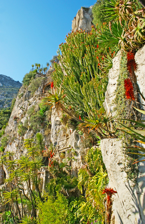 steep: The rocky slope covered by green cactuses and other succulents in Jardin Exotique botanical garden in Monaco. Stock Photo
