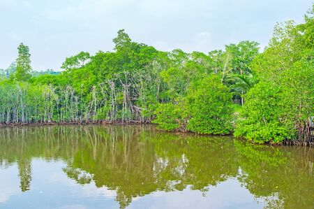 The tropic mangrove forests on the Madu River in Sri Lanka are the perfect place to visit during vacation. Stock Photo