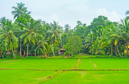 The rice growing is very popular in agricultural district of Hikkaduwa, Sri Lanka. Stock Photo