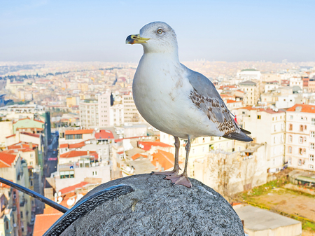 The herring gull stands on the hand rail of the top of Galata Tower with the Istanbul cityscape on the background, Turkey.