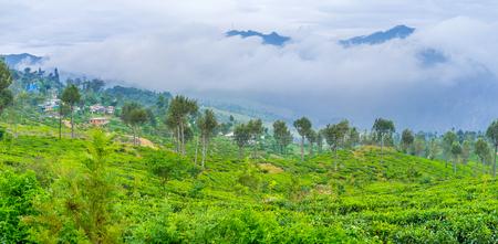 Tea that grows in Dambatenne plantations is known as Lipton tea, Haputale, Sri Lanka