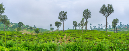 The tea plantations owned by Dambatenne Tea factory are one of the most largest in Sri Lanka Stock Photo