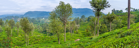 Tea plantations are the main work place of villager of central part of Sri Lanka Stock Photo