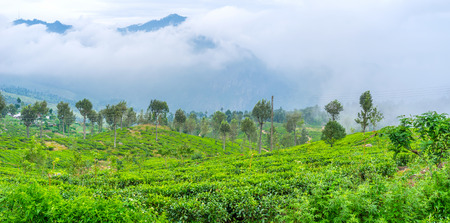 Tea shrubs are absolutely dominated agriculture plant in central part of Sri Lanka