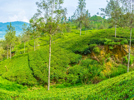 Sri Lanka is one of the biggest tea exporter with endless tea plantations. Stock Photo