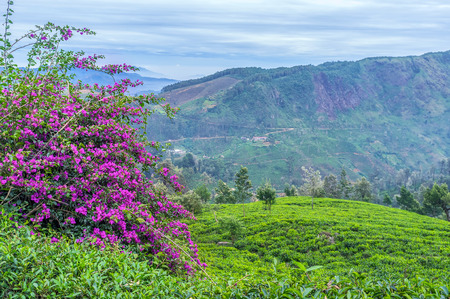The beautiful view on the blossoming bush surrounded with tea shrubs, Hakgala, Sri Lanka