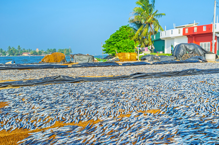 The traditional method of drying anchovies is used by fishermen of Negombo, Sri Lanka.