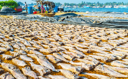 The beaches at the fishermens neighborhoods of Negombo are occupied with drying fish, Sri Lanka. Stock Photo