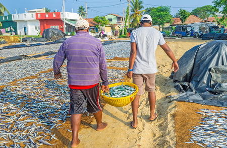 The fishermen carry the basket with fish to spread it out for sun drying at the beach of Negombo lagoon, Sri Lanka.