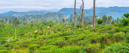 Panoramic view on tea plantations, that is the main landmark of central Sri Lanka