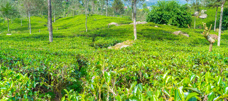 Densely planted tea shrubs  look like a carpet, that covers hills in Sri Lanka