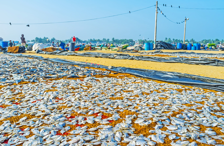 The dried fish is one of the most important products for Sri Lankan cuisine, so the ports are occupied with large amount of drying fish varieties, Negombo. Stock Photo