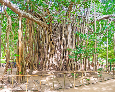 The huge Banyan tree welcomes tourists at the central entrance to Sigiriya complex, Sri Lanka.