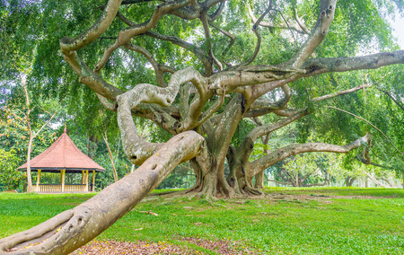 The twisted trunk and aerial roots of ficus of Benjamin in Ficus collection of Paradeniya Royal Botanical Garden in Kandy, Sri  Lanka.