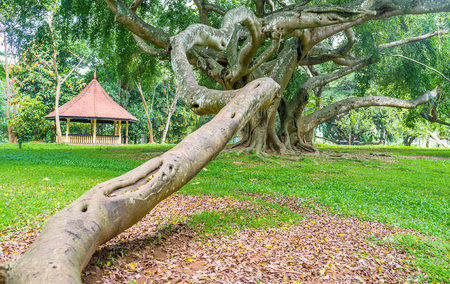 The scarry twisted trunk of ficus of Benjamin, the perfect tree for the horror movies, Ficus collection, Paradeniya Royal Botanical Garden of Kandy, Sri Lanka