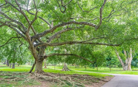 The ficus of Benjamin is the spreading shady tree with twisted branches, open powerful roots and massive trunk, Peradeniya Royal Botanical Garden, Kandy, Sri Lanka.