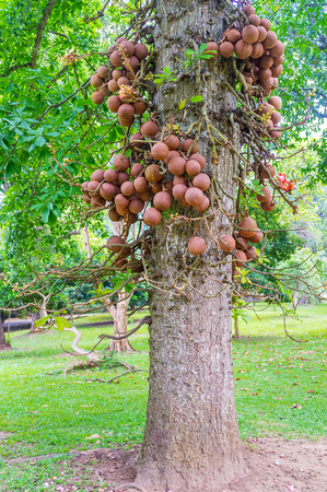 The special fruits of the cannon ball tree grow on the branches next to the trunk, Peradeniya botanical garden, Kandy, Sri Lanka.
