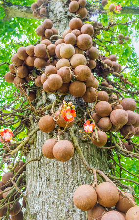 The  spherical fruits of cannon ball tree with a woody shell make it one of the most interesting plants in Peradeniya botanical garden, Kandy, Sri Lanka.