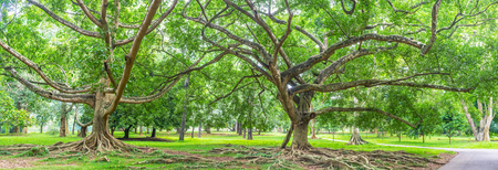 Ficus of Benjamin is one of the most amazing trees in botanical park in Peradeniya, Sri Lanka