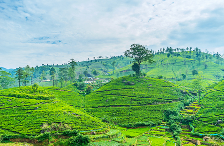 Panorama of the old tea plantation with rows of tea plants and narrow pathes between them, Pusselawa, Sri Lanka.