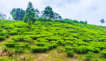 The gentle slope covered with small trimmed bushes of tea, belonging to the Pedro Tea Plantation, Nuwara Eliya, Sri Lanka.
