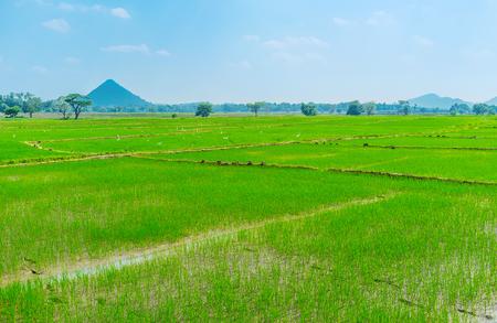 Sri Lankan Uva province boasts huge territories planted with rise