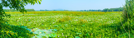 Panoramic view on huge freshwater swamp in Uva province with water hyacinth flowers, Sri Lanka