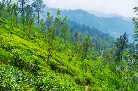 The steep slope is covered with bright green tea plants, young trees of acacia and eucalyptus, Ella, Sri Lanka. Editorial