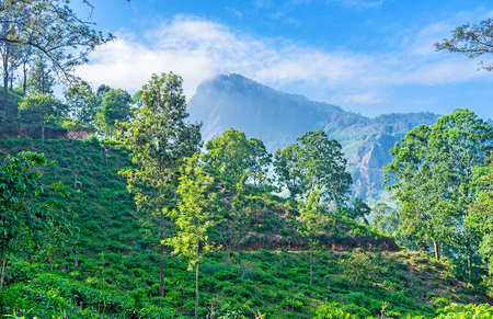 The road to the Little Adams Peak, one of the most popular landmarks of Ella, lies along the scenic tea plantation, located on the slope, Sri Lanka. Stock Photo