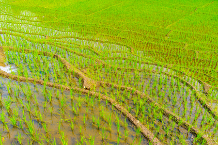 The terrace paddy field with juicy green sprouts, located in Ketawala, Sri Lanka. Stock Photo