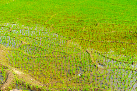 The terraces of paddy field with bright green sprouts in water, Ketawala, Sri Lanka. Stock Photo