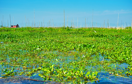 The juicy fresh greenery of local floating farm on surface of Inle Lake, Myanmar.