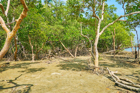 The walk on wet swampy soil among the mangrove plants during low tide, Ngwesaung beach zone, Myanmar.