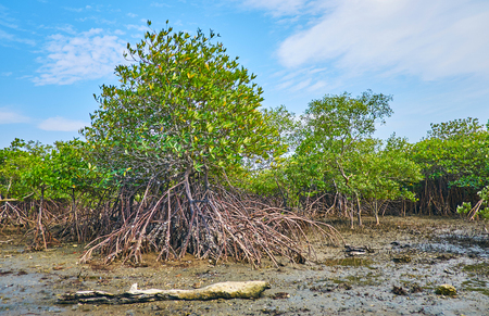 The mangrove plants with huge system of aerial roots, seen at low tide, Ngwesaung, Myanmar.